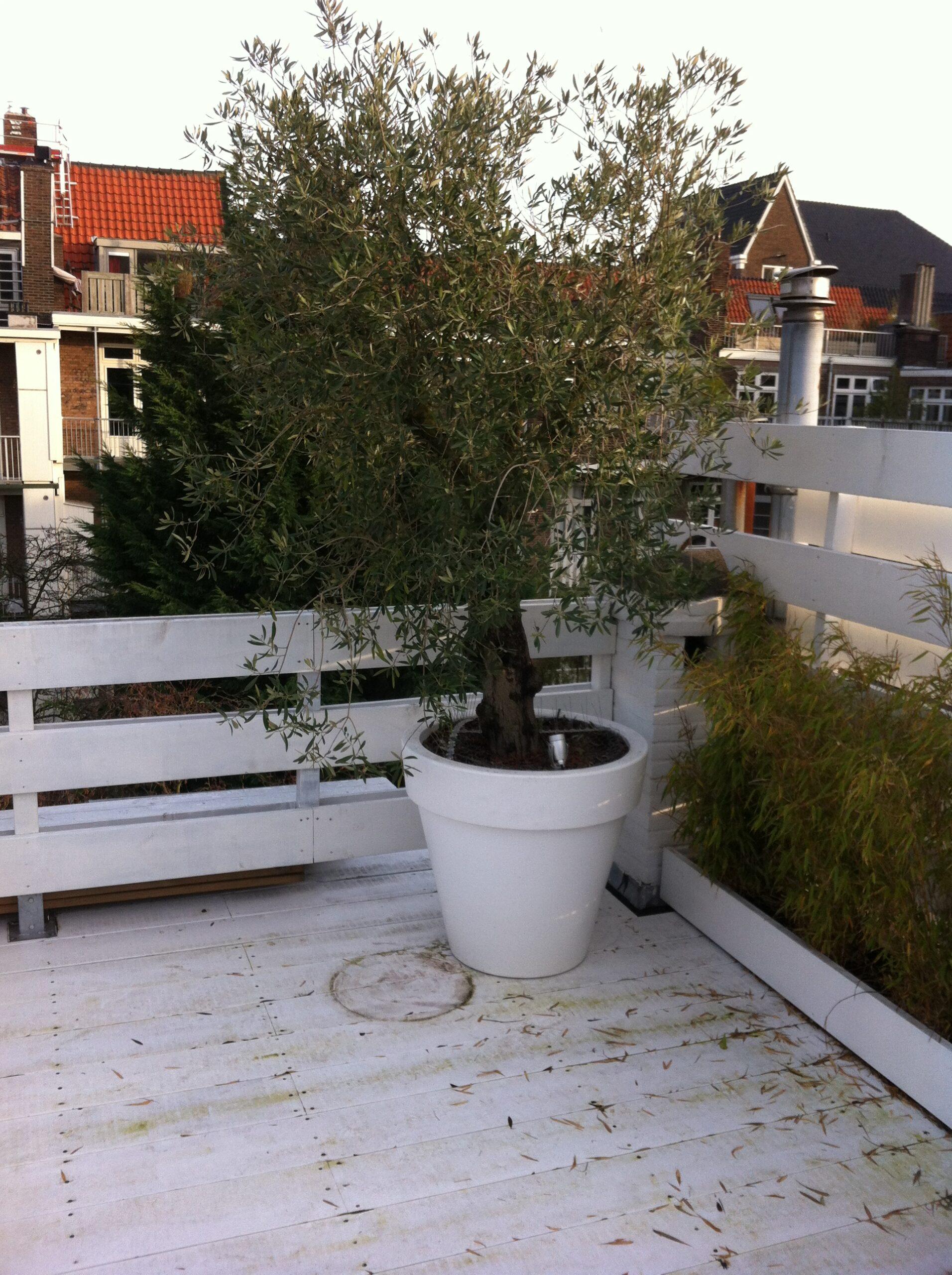 Hoe bescherm je olijfbomen in de winter?